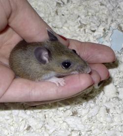 orphaned baby mice gw deer mouse ranch